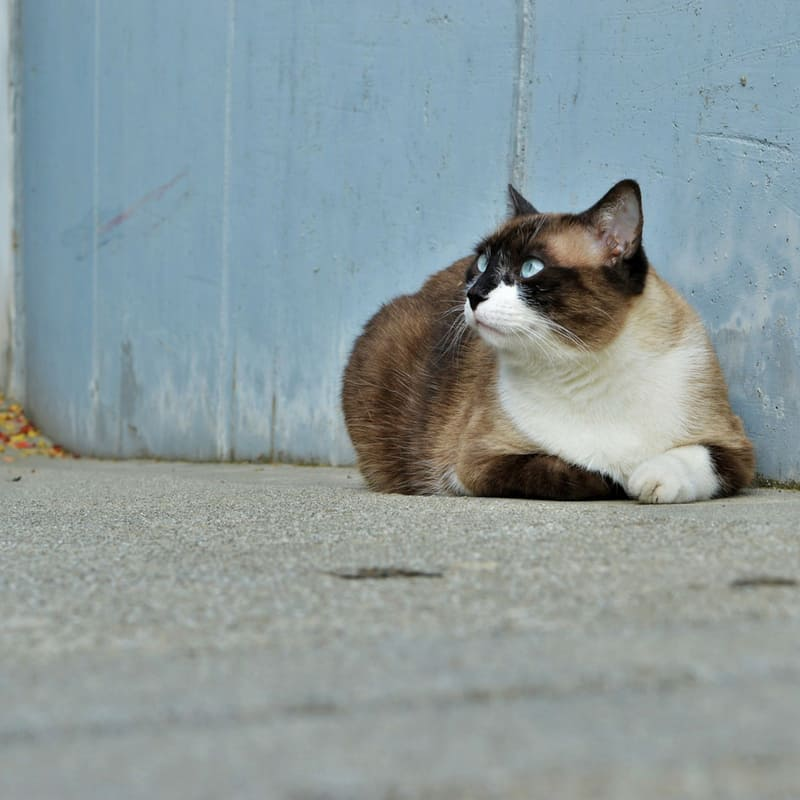 Calico cat sitting against blue wall.