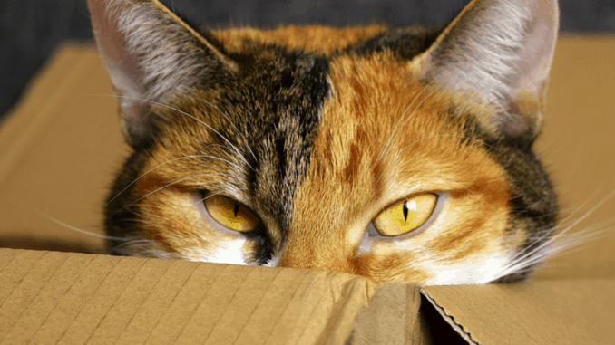 Moving house with a cat - a calico cat pokes her head out of a box